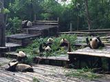 【订产品送熊猫公仔】【品质纯玩】成都熊猫基地、峨眉乐山、都江堰青城山纯玩3日游