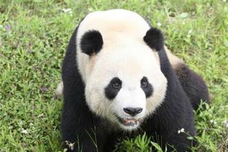 大熊猫区 @上海野生动物园官网