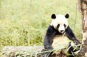 【亲子好去处】都江堰、熊猫基地中心、青城山纯玩1日游(品青城四绝特色美食,全程配备无线耳麦)