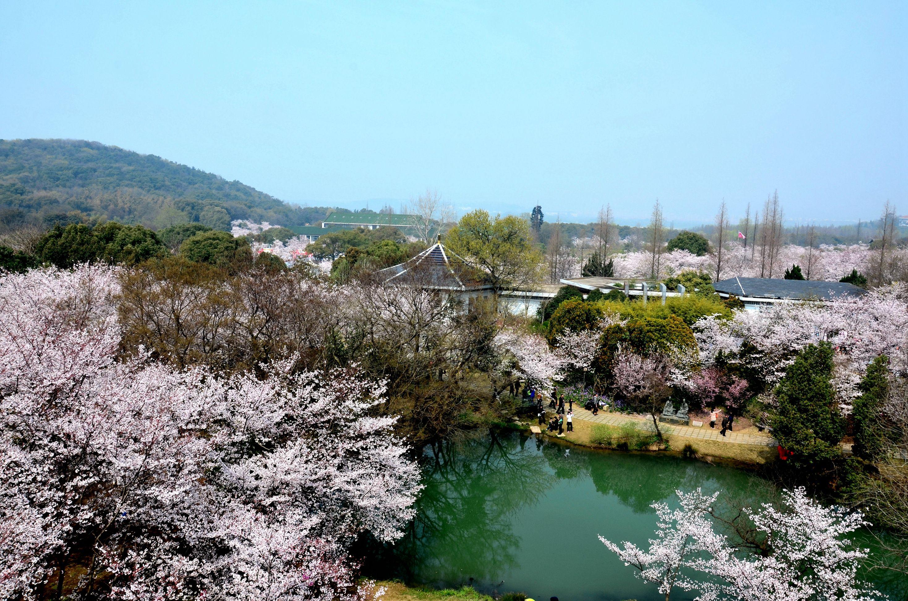正值无锡举办每年一度的鼋头渚国际樱花节于是我们在驴妈妈上预定了图片