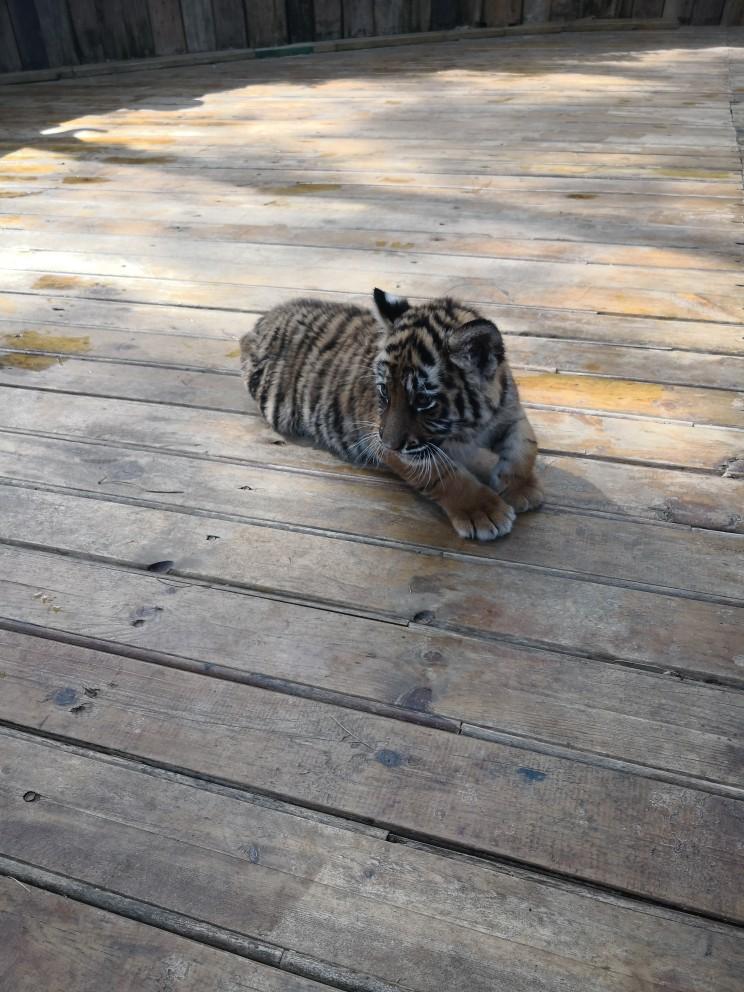 云南野生动物园   门票 观光车票 长颈鹿喂食 浣熊家族喂食 老虎王国